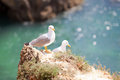 Seagulls in portugal at the beach of tres irmaos Royalty Free Stock Photos