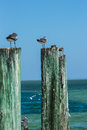 Seagulls sitting on wooden posts by the ocean five perched a row of deep blue and turquoise Stock Photography