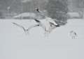 Seagulls In The Snow Storm