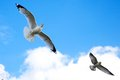 Seagulls soaring against the backdrop of a beautiful blue sky Royalty Free Stock Photo