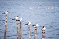 Seagulls standing on bamboo sticks along the seaside Stock Photography