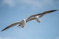 Seaguuls pair with spread wings Royalty Free Stock Photo