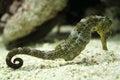 Seahorse gracieus in a aquarium Royalty Free Stock Photography