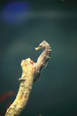 Seahorse the image of in an aquarium at institue of marine science Royalty Free Stock Photo