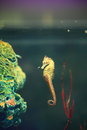 Seahorse the image of beautiful in an aquarium is the name given to species of small marine fishes in the genus Stock Photography