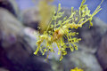 Seahorse monterey bay aquarium california usa Royalty Free Stock Photo