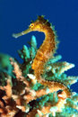 Seahorse this is a in the red sea egypt Stock Image