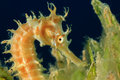 Seahorse thorny on sea grass Royalty Free Stock Images