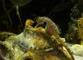 Seahorses in Aquarium Royalty Free Stock Photo