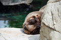 Seal baby sleeping on a rock Royalty Free Stock Photos