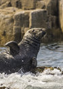 Seal basking grey gray halichoerus Royalty Free Stock Photo