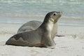 Seal bay kangaroo island south australia australian sea lions seals colony on Royalty Free Stock Photo