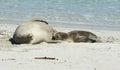 Seal bay kangaroo island south australia australian sea lions seals colony on Royalty Free Stock Photos