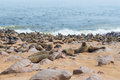 The seal colony at Cape Cross, on the atlantic coastline of Namibia, Africa. Expansive view on the beach, the rough ocean and the Royalty Free Stock Photo