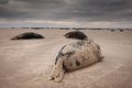 Seal colony a small group of four young bull grey seals resting on the edge of the main Royalty Free Stock Images