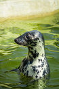 Seal fur seals in the sea closeup of Stock Image