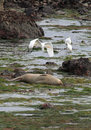 Seal Herons Stock Images