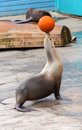 Seal juggle orange basketball Royalty Free Stock Photo