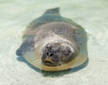 Seal lies in the water and basking in the sun Royalty Free Stock Photography