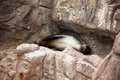 A seal lion sleeps on a rocky ledge in the sunshine Stock Images