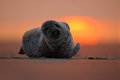 Seal lying at sunset, evening with ocean, animal in the sand beach, nature habitat, Dune Island, cute beautiful scene, Germany Royalty Free Stock Photo