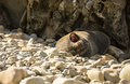 Seal in nz a common on the rugged coast of kaikoura new zealand resting on its back and yawning Royalty Free Stock Images