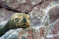 Seal in Paracus Peru Royalty Free Stock Photo