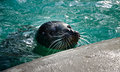 Seal phoca vitulina in the zoo Royalty Free Stock Images
