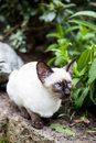 Seal point siamese cat Royalty Free Stock Image