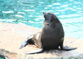 Seal posing on a stone in front of water Royalty Free Stock Photos