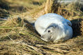 Seal Pup Royalty Free Stock Photos