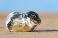 Seal pup cute atlantic grey on beach Stock Images