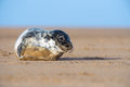 Seal pup cute atlantic grey on beach Royalty Free Stock Photography