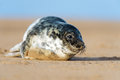 Seal pup cute atlantic grey on beach Royalty Free Stock Photo