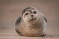 Seal pup a cute grey looking straight into the camera lens Stock Photos