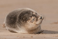 Seal pup a grey snoozing on the beach at the donna nook colony Stock Image