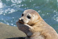 Seal Puppy in La Jolla Stock Images