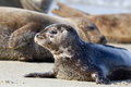 Seal puppy resting on the beach la jolla ca Royalty Free Stock Photos
