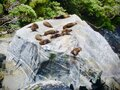 Fur Seal Colony Resting On A Rock In The Milford Sound On The South Island Of New Zealand.