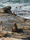 Seal on the Rocks, La Jolla California Stock Photos
