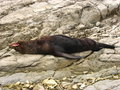 Seal on rocks a in new zealand s south island lying yawning Stock Photo