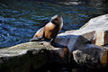 Seal sits on rocks by the pool. Royalty Free Stock Photo