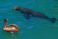 Seal swimming near pelican in Cabo San Lucas harbor in Baja Mexico Royalty Free Stock Photo