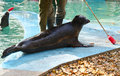 Seal with target stick phoca vitulina in the zoo Royalty Free Stock Photography