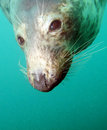 Seal an underwater encounter with a curious scottish Stock Image