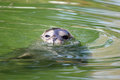 Seal in water Royalty Free Stock Photo