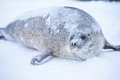 Seal a young on ice sea Royalty Free Stock Photography