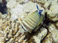 Sealife : Sailfin Tang Stock Photography