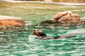 Sealion at bronx zoo winter Royalty Free Stock Photo