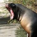 Sealion close up yawning Stock Images